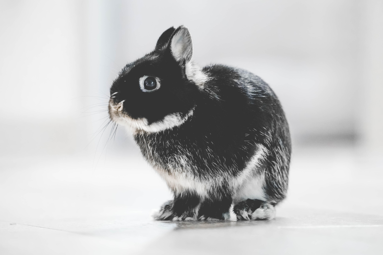 dierproeven konijn